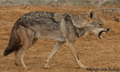 Canis anthus - Cécile Bloch 6.png