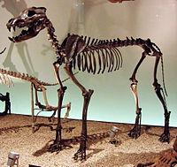 Canis dirus Skeleton.jpg