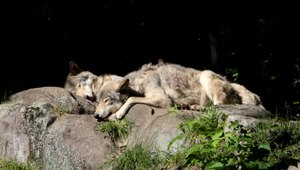File:Canis lupus PO 2.ogv