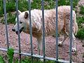 Canis lupus arctos 2010.JPG