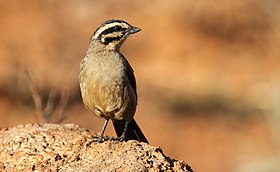 Cape Bunting, Emberiza capensis at Suikerbosrand Nature Reserve, Gauteng, South Africa (15227754205).jpg