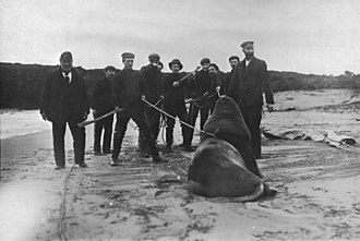 John Bollons - Captain Bollons and crew capturing a sea lion, 1909