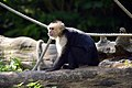 Capucin à épaules blanches (Zoo-Amiens)c.JPG