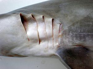 Spinner shark - Image: Carcharhinus brevipinna JNC3077 Gill slits