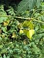 Cardiospermum halicacabum 21.JPG