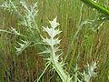 Carduus pycnocephalus leaf3 ST (14942712603).jpg