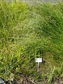 Carex capitata - Botanical Garden, University of Frankfurt - DSC02723.JPG