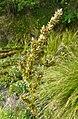 Carex paniculata inflorescens (36).jpg