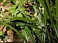 Carex pendula leaf (5).jpg
