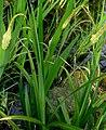 Carex pendula plant (37).jpg