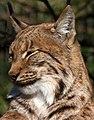 Carpathian Lynx 1 (13135029923).jpg