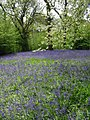 Carpet of bluebells in Brick Kiln Wood, Hole Park - geograph.org.uk - 787381.jpg