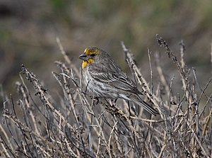 House finch - Yellow variant caused by diet.