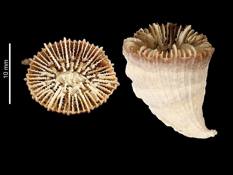 File:Caryophyllia unicristata (MNHN-IK-2009-1681).jpeg