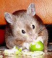 Cashew sable syrian hamster.jpg