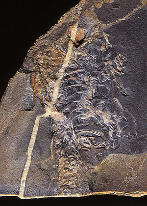 Evolution of reptiles - A fossil of Casineria, which may have been the earliest amniote.