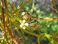 Cassytha melantha Cape Le Grand NP X-2010.JPG