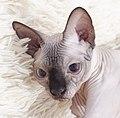 Cat - Sphynx. img 097.jpg