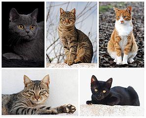 חתולי בית