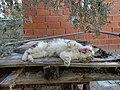 Cat yawning - DSC00577.jpg