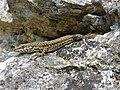 Catalonian Wall Lizard (Podarcis liolepis cebennensis) (14062345292).jpg