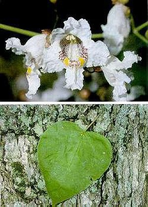 Catalpa - Catalpa speciosa flowers, leaf and bark
