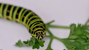 File:Caterpillar Papilio machaon.ogv