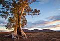 Cazneaux Tree - Flinders Ranges - South Australia (Explored).jpg