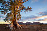 Cazneaux Tree - Flinders Ranges - South Australia (Explored).jpg