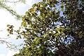 Cecropia obtusifolia 9zz.jpg