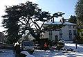 Cedar tree in Abbey Road - geograph.org.uk - 1726191.jpg