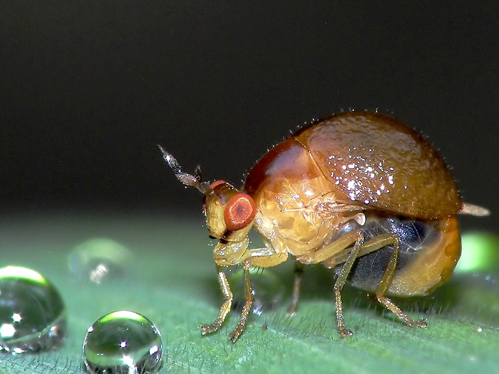 Celyphidae specimen