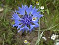 Centaurea cyanus Puszcza Zielonka Kicin 02.JPG