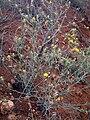 Centaurea solstitialis Plant CampodeCalatrava.jpg