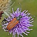Cerambycidae - Anastrangalia dubia dubia (female).jpg