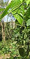 Ceropegia elegans fruits at Peravoor (8).jpg