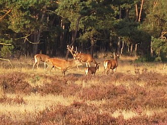 Veluwe - Red deer in the Hoge Veluwe National Park