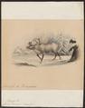 Cervus tarandus - 1842-1849 - Print - Iconographia Zoologica - Special Collections University of Amsterdam - UBA01 IZ21500077.tif