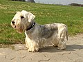 Cesky-terrier-144741 1280 (20319674988).jpg