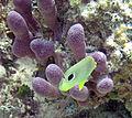 Chaetodon capistratus (foureye butterflyfish) (San Salvador Island, Bahamas) 4 (15985784559).jpg