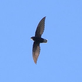 Chaetura brachyura - Short-tailed Swift.JPG