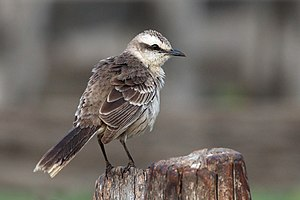 Chalk-browed mockingbird - In the Pantanal, Brazil