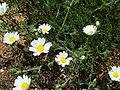 Chamaemelum mixtum.JPG