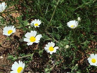 <i>Cladanthus mixtus</i> Species of flowering plant