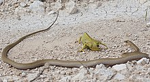 A flap-necked chameleon defending itself against a boomslang attack.