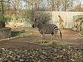 Chapman-Steppenzebra (Zoo Dresden).jpg