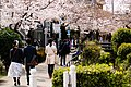 Cherry Blossom (49686880821).jpg