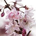 Cherry Blossom (8604801026).jpg