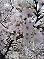 Cherry Blossoms near Library in Huangzhou District, Huanggang, Hubei 2.JPG