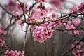 Cherry Tree (148374045).jpeg